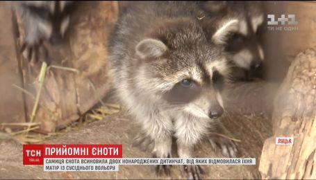 """В Луцком зоопарке енотиха """"усыновила"""" малышей, от которых отказалась мать из соседнего вольера"""