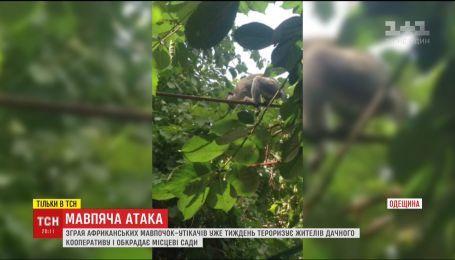 На Одещині африканські мавпочки-утікачі тероризують жителів дачного кооперативу