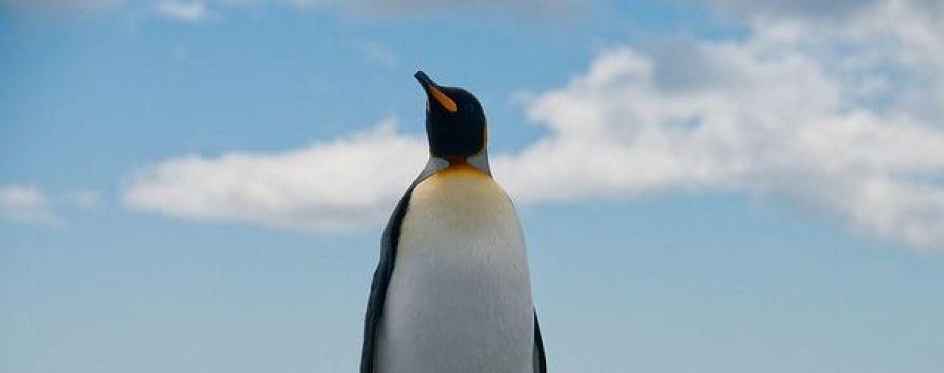 Найбільша у світі колонія королівських пінгвінів зменшилася на 90%