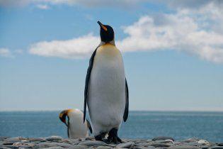 Крупнейшая в мире колония королевских пингвинов уменьшилась на 90%