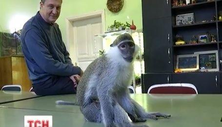 Львів'яни збирають гроші, аби придбати пару для самця зеленої королівської мавпочки
