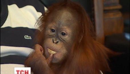 Рудий орангутан Йося оселився вдома у власника приватного столичного зоопарку