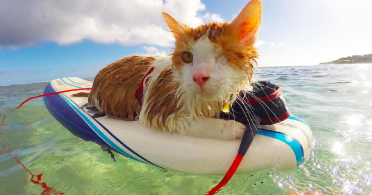 Одне око кіт втратив, але це не заважає йому бути щасливим пухнастиком @ Instagram.com/kulithesurfingcat