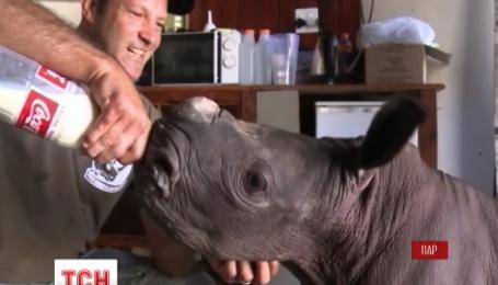 У Південній Африці врятували маленького носорога, що відбився від родини