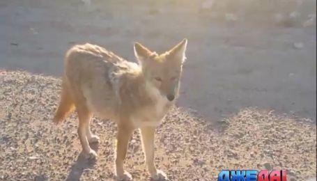 Калифорнийские трассы атакуют взбесившиеся койоты