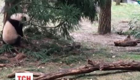 В американском зоопарке из вольера впервые вышло маленькое панденя