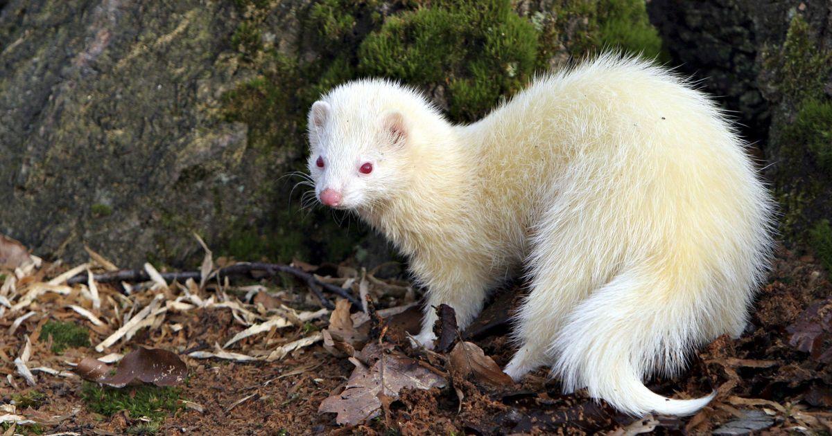 Дивовижні тварини альбіноси вражають своєю красою і незвичністю