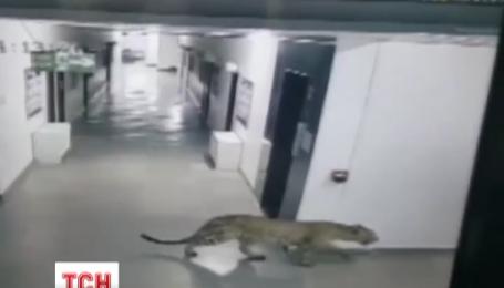 На півдні Індії до однієї зі шкіл штату Карнатака вдерся леопард