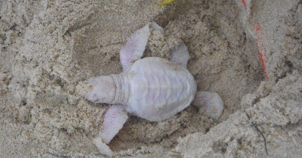 Черепаха-альбінос дуже рідкісна.