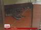 У США чоловік жбурнув крокодила в вікно замовлень кафе