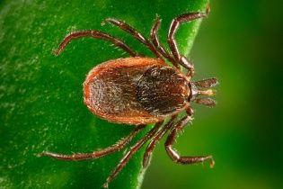 Хвороба Лайма: як вберегтися від укусів кліщів та не заразитися інфекцією