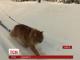 Соціальні мережі підірвав ролик, на якому рудий кіт катає свою хазяйку на лижах