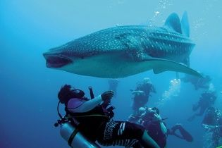 Дайвер спас гигантскую китовую акулу вблизи Мексики