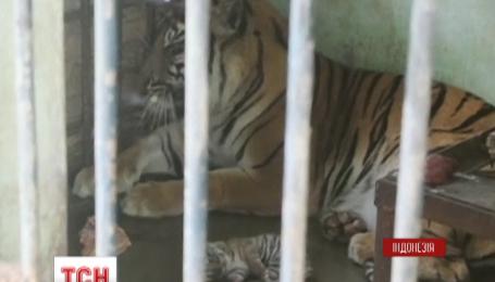 В зоопарке Индонезии родился редкий суматранский тигренок