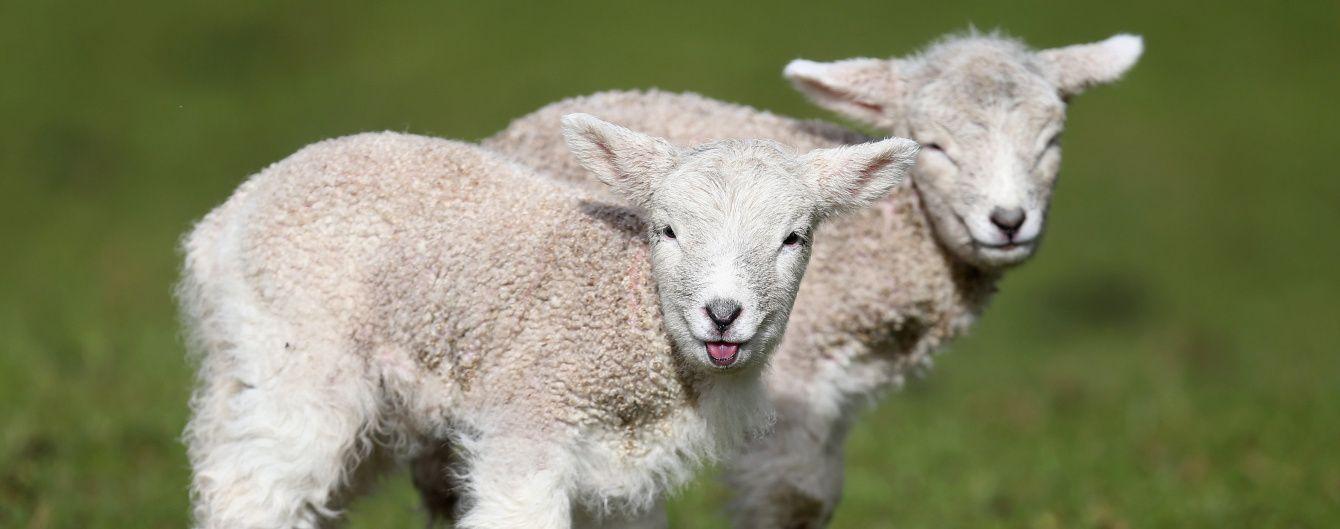 Учені заявили про створення химери вівці та людини