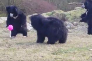 Юзерів потішило відео із кумедними ведмедями, які граються з рожевою кулькою