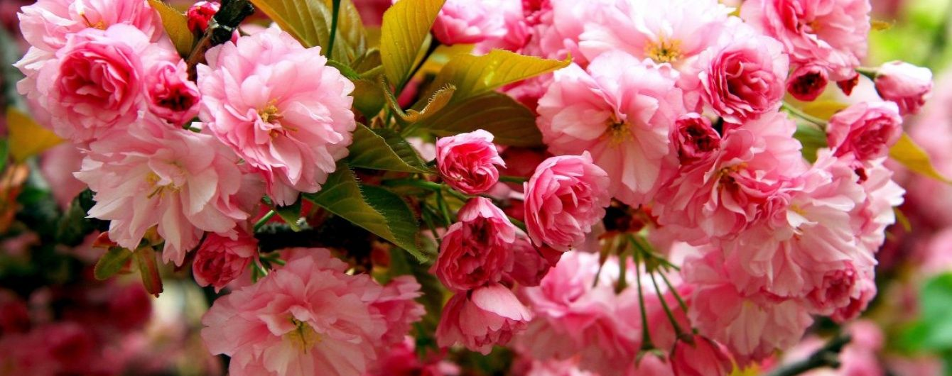 "Попри холоднечу, в Мукачевому розквітло ""шалене"" дерево сакури"