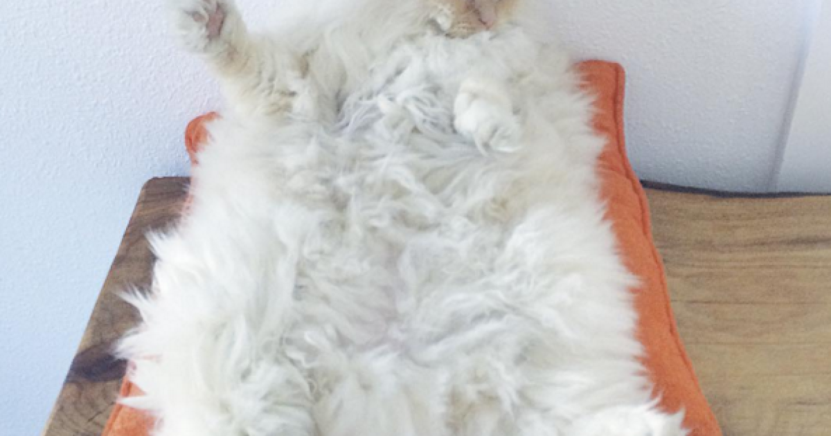 Скай любить ніжитися і байдикувати @ instagram.com/sky_the_ragdoll