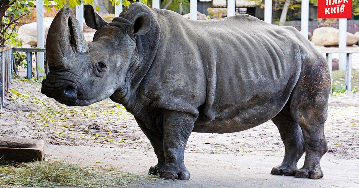 В Киеве умерла любимица зоопарка белый носорог Тревога
