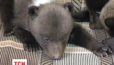Тройню маленьких медвежат показали в Харьковском зоопарке