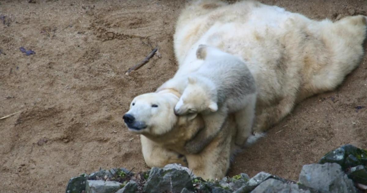 Пользователей Сети рассмешил детеныш белой медведицы, который играет с мамой