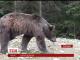 На Львівщині після зустрічі з голодним ведмедем чоловік опинився в реанімації