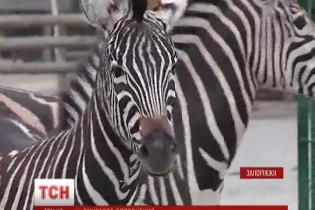 Бердянский зверинец пополнился парой капризных африканских зебр