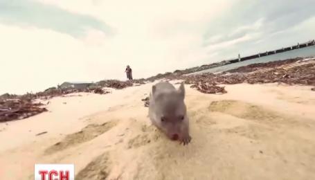 В Австралии ищут человека, который будет обнимать маленького вомбата