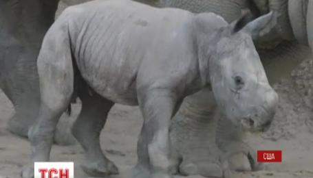 В зоопарке Сан Диего родился маленький белый носорог