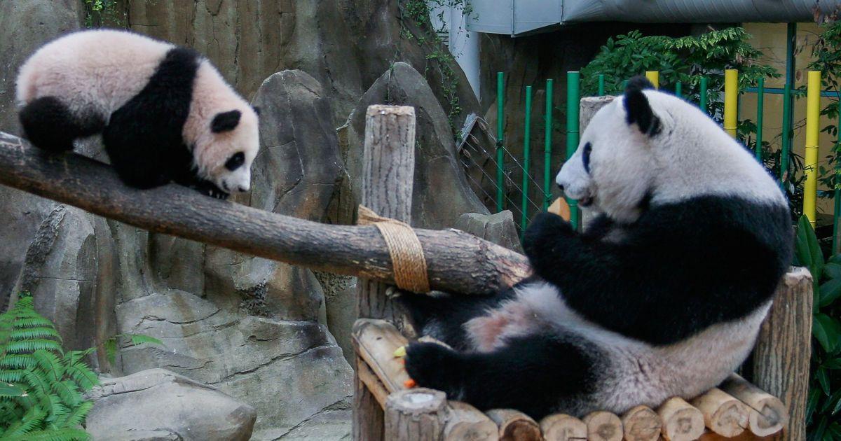 У Малайзії усією країною обрали ім'я новонародженій панді
