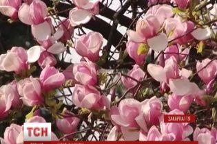 Ужгород собирает толпы туристов цветом сакуры