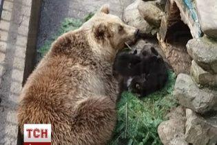 """На Ивано-Франковщине впервые показали забавных """"президентских"""" медвежат"""