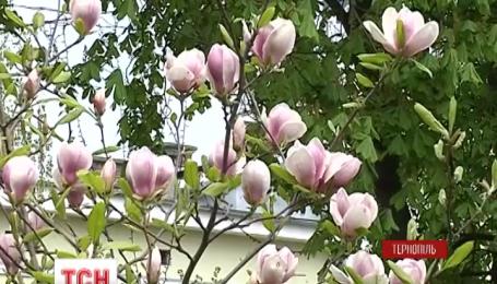 У Тернополі розквітли дерева, які не цвіли роками