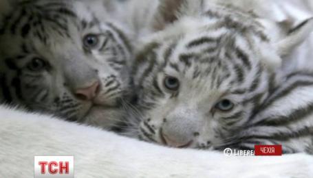 Чешский зоопарк показал фотографии маленьких белых тигрят
