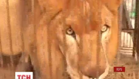Врятовані із цирків у Перу та Колумбії леви повертаються до Африки