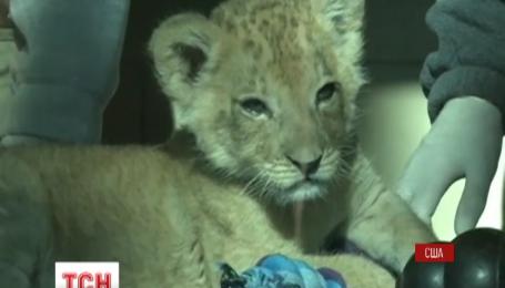 В зоопарке Баффало журналистов познакомили с будущим царем зверей