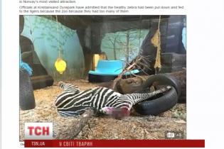 У зоопарку Норвегії тигри на очах у відвідувачів розтерзали вбиту зебру