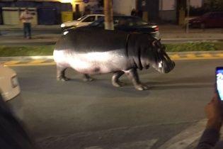 Испанским городком прогуливался гиппопотам-беглец