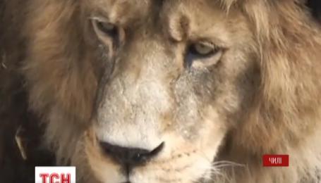 У чилійському зоопарку застрелили двох левів через самогубця-невдаху