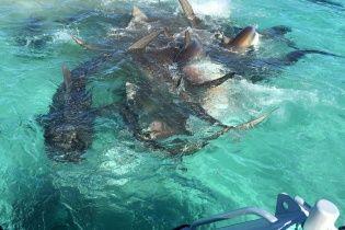 Туристическая фирма сняла на видео нападение 70 акул на одного кита