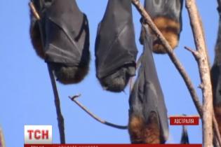 В Австралии сильная жара валит летучих мышей на лету