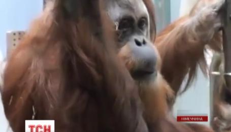 В зоопарке города Штутгарт появилась служба видеосвиданий для обезьян