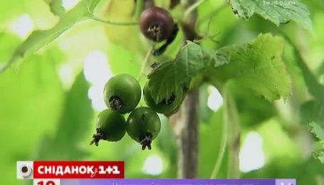 Як доглядати за плодово-ягідними кущами