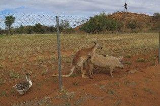 Австралієць заскочив кенгуру і свиню за сексом під наглядом гусака