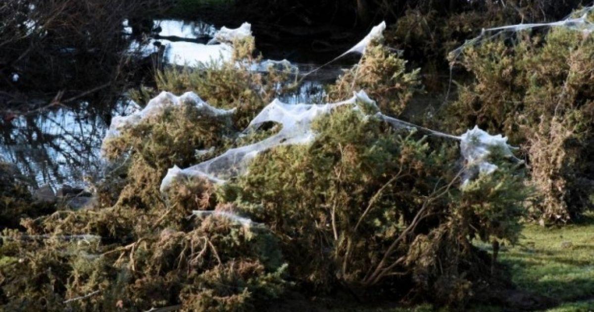 Павуки рятувалися від води @ The Age/Ken Puccetti