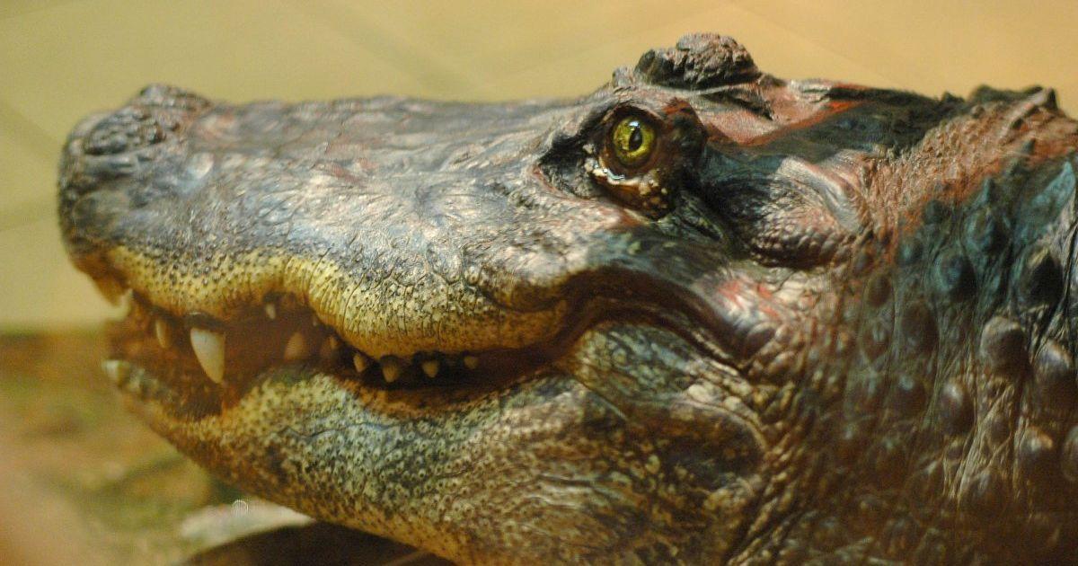 В Австралии парень ради девушки прыгнул в реку с крокодилами и едва не потерял руку