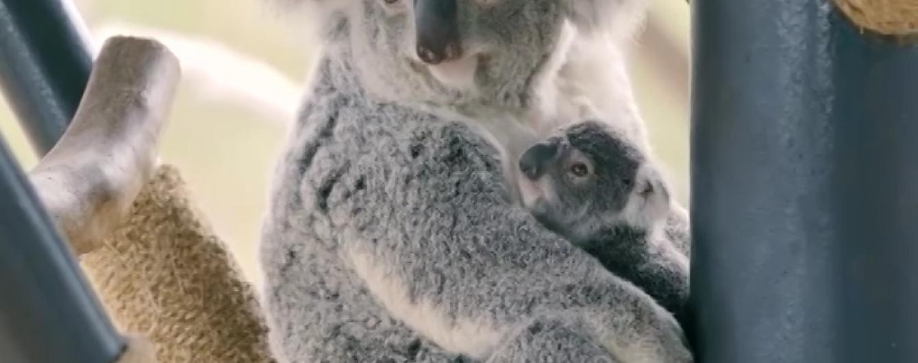 Маленька коала із зоопарку Сан-Дієго стала зіркою Інтернету