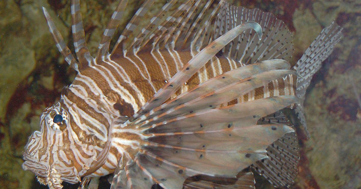 Ядовитые рыбы подбираются к берегам Турции и Кипра