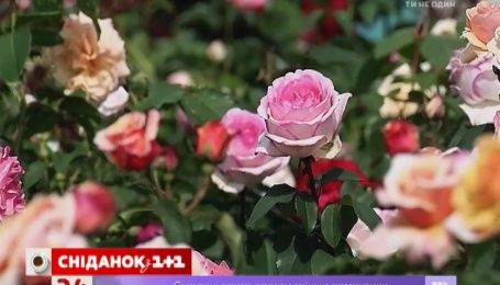 Що роботи з трояндами після відцвітання, щоб вони знову зацвіли