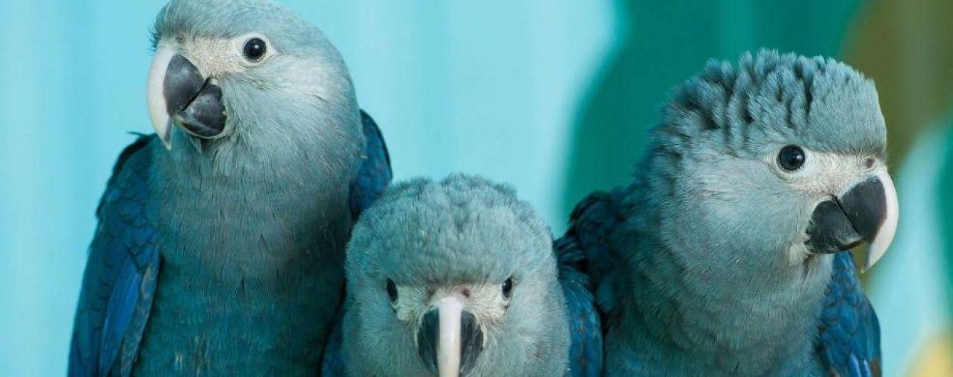 У Бразилії помітили блакитного ару, який вважався зниклим у дикій природі